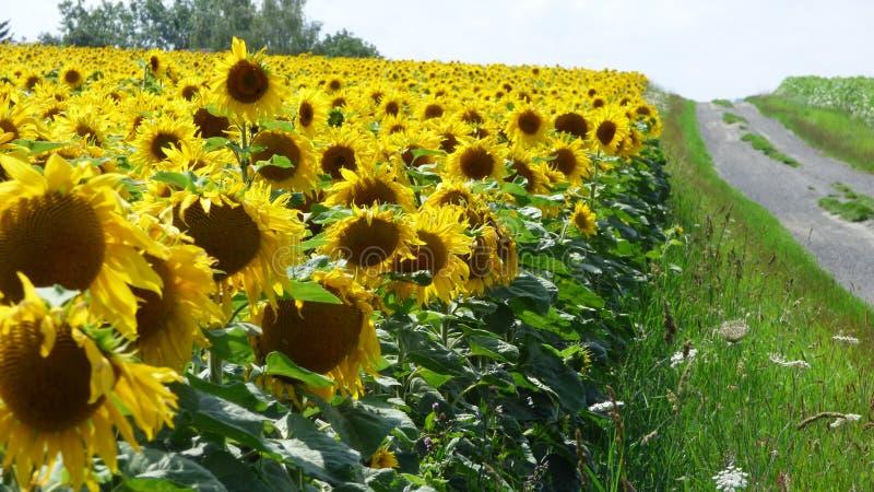 Sonnenblumen in Frankreich lizenzfreie stockfotos