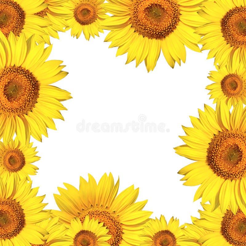 Sonnenblumen gestalten getrennt stockfotos