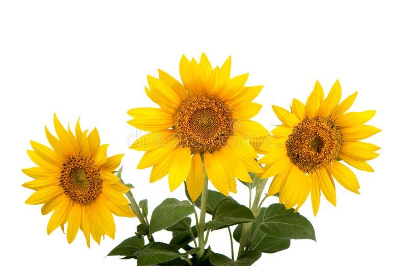 Sonnenblumen getrennt lizenzfreie stockfotografie