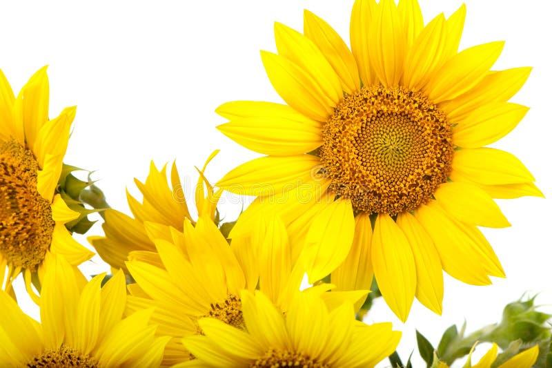 Sonnenblumen getrennt stockfoto