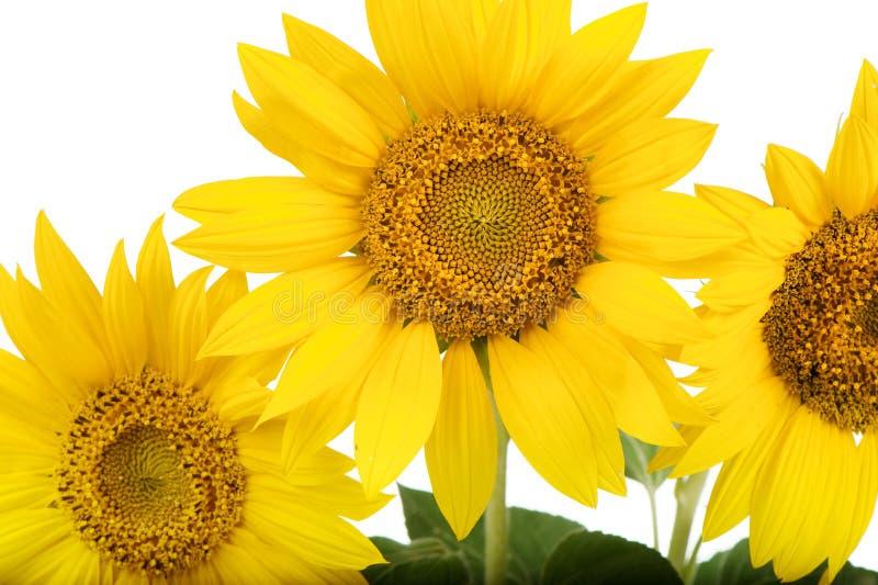 Sonnenblumen getrennt lizenzfreies stockfoto