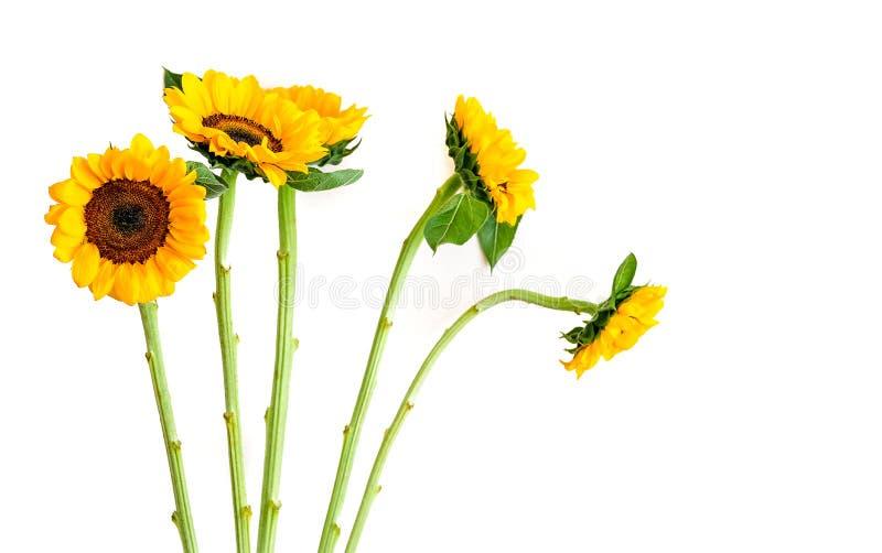 Sonnenblumen getrennt auf Weiß lizenzfreie stockfotos