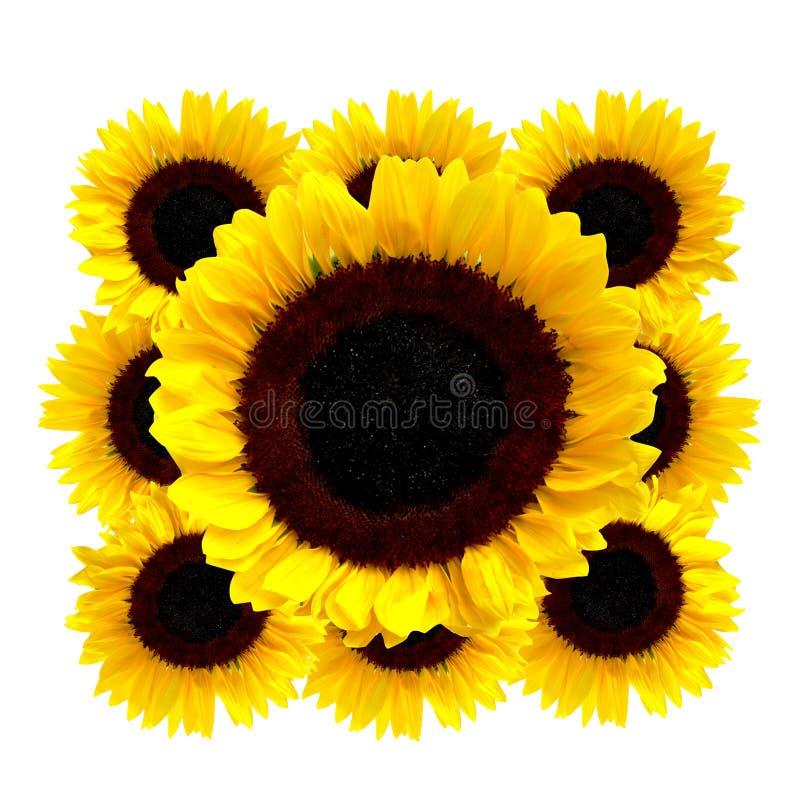 Sonnenblumen getrennt auf weißem Hintergrund stockfoto