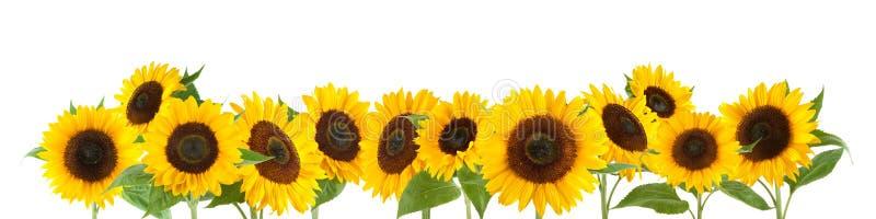 Sonnenblumen getrennt auf weißem Hintergrund stockfotos