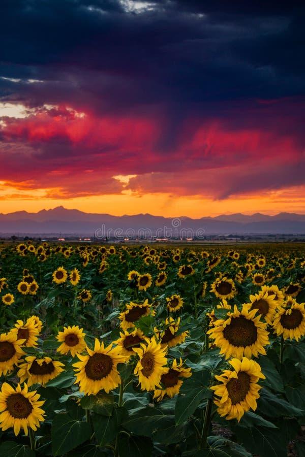 Sonnenblumen-Helligkeit lizenzfreie stockfotografie