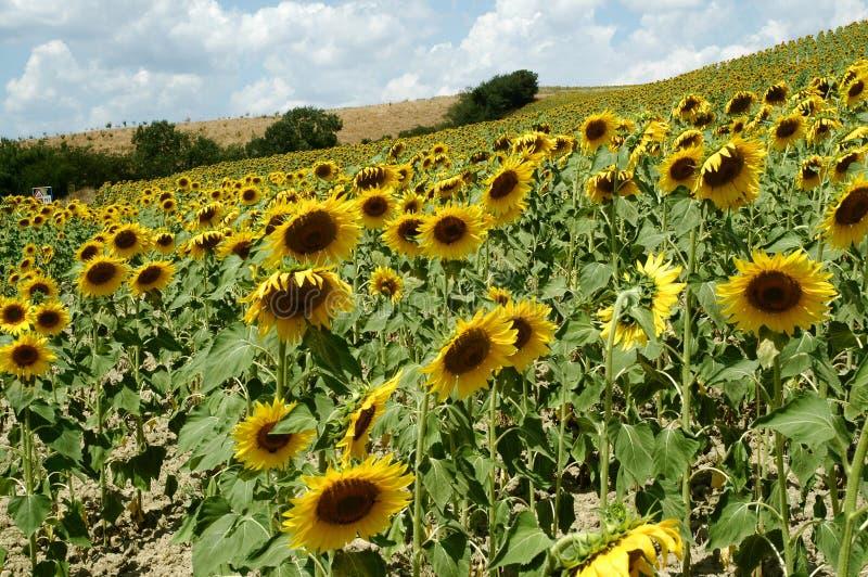 Sonnenblumen im Toskana-Bauernhof lizenzfreie stockfotografie