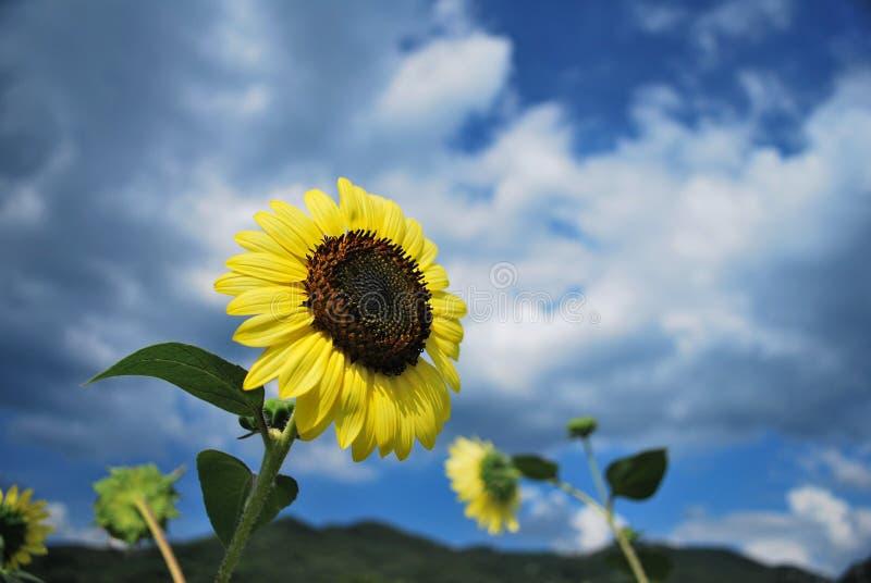 Sonnenblumen im Wind lizenzfreie stockfotografie