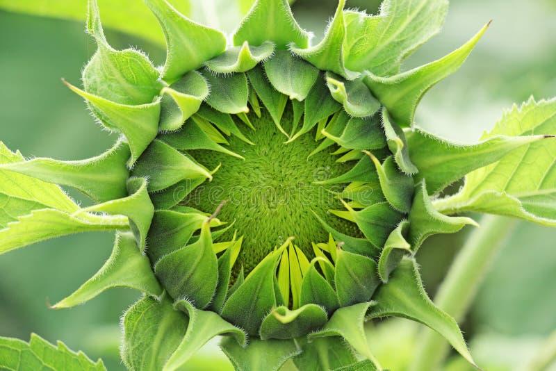 Sonnenblumen-Knospe lizenzfreie stockfotografie