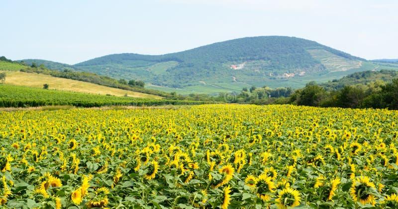 Sonnenblumen Landschaft und Hügel in Ungarn lizenzfreie stockfotografie