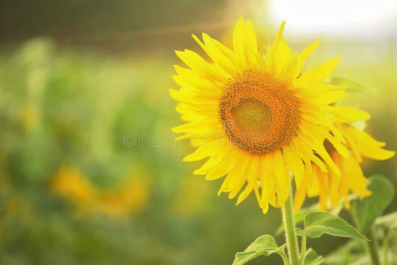 Sonnenblumen masern und Hintergrund Fokussieren Sie Nahaufnahme der Sonnenblume in der Blüte mit Aufflackern vom Sonnenlicht lizenzfreie stockfotografie