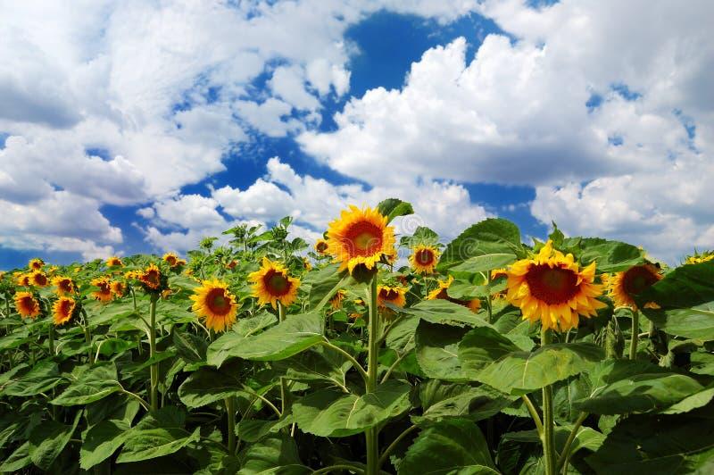 Sonnenblumen mit bewölktem Himmel lizenzfreie stockfotografie