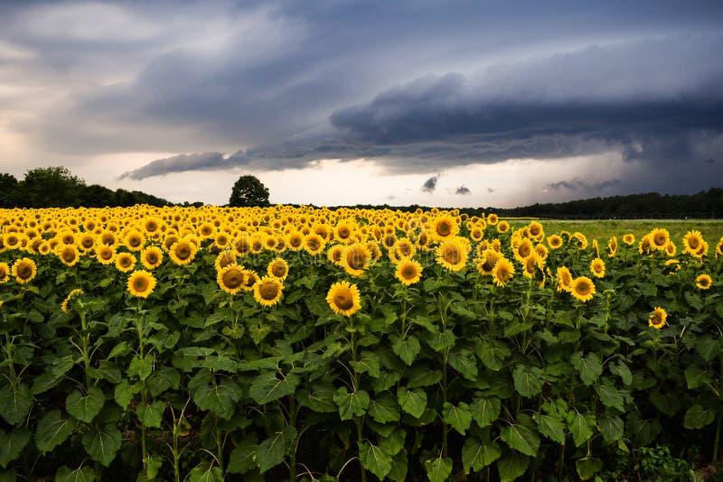Sonnenblumen mit Gewitter lizenzfreie stockbilder