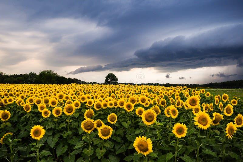 Sonnenblumen mit Gewitter stockfotografie