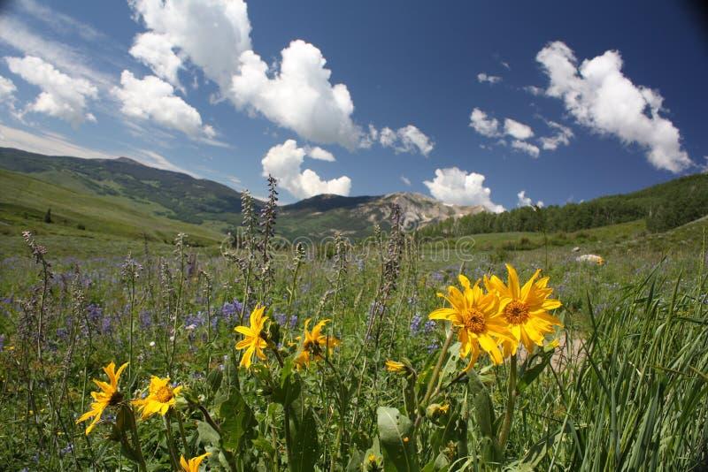 Sonnenblumen in mit Haube Butte, Co lizenzfreie stockfotografie