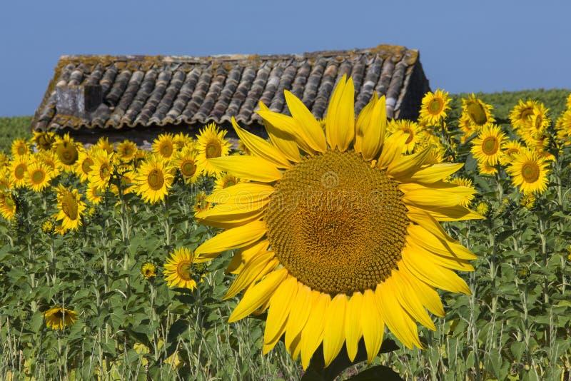 Sonnenblumen - Süden von Frankreich lizenzfreie stockfotos