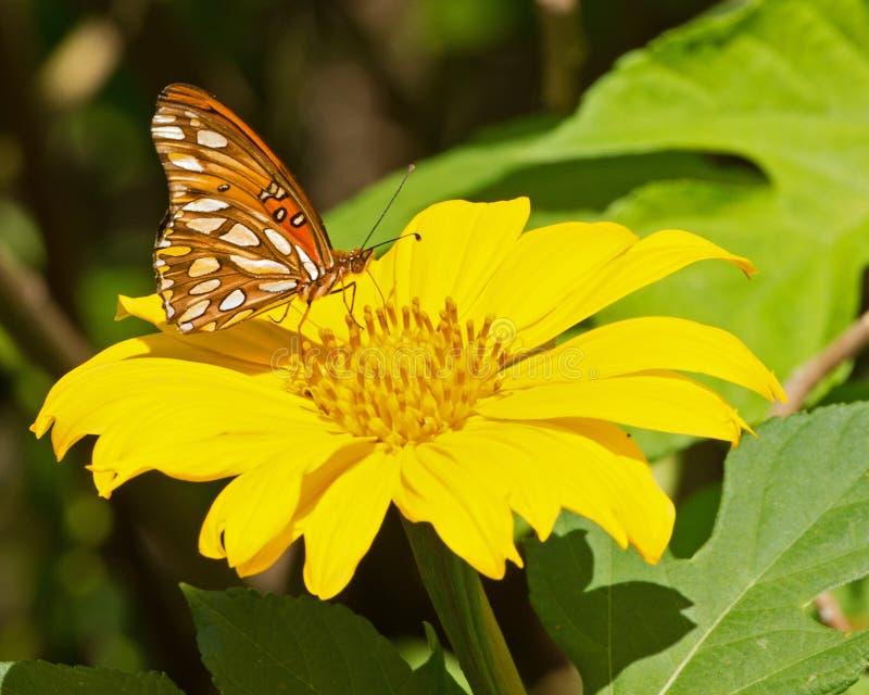 Sonnenblumen-Schmetterling lizenzfreies stockfoto