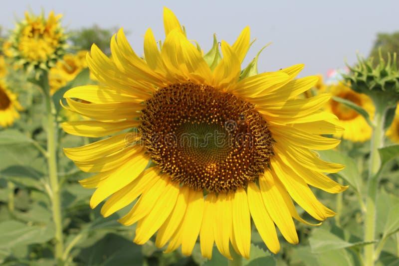 Sonnenblumen, Sonnenblumenblühen stockfotografie
