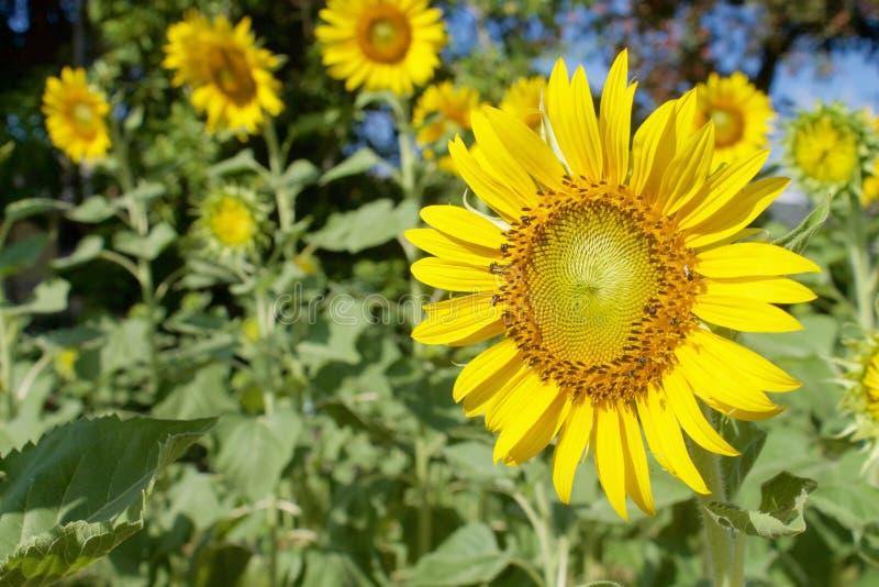 Sonnenblumen am sonnigen Tag stockbilder