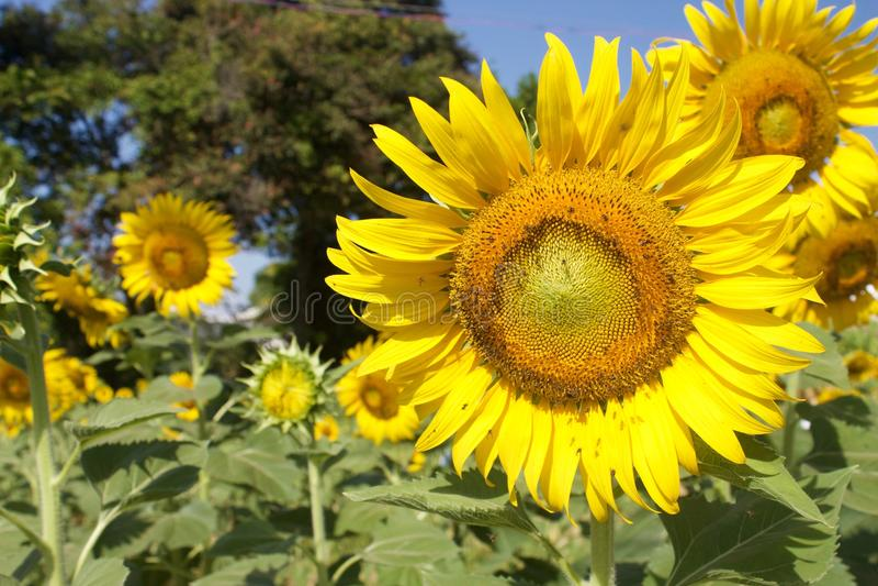 Sonnenblumen am sonnigen Tag lizenzfreie stockfotografie