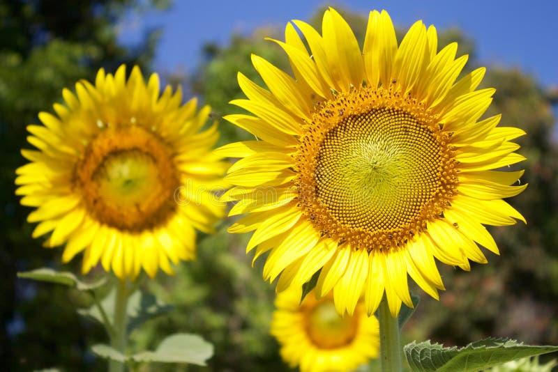 Sonnenblumen am sonnigen Tag stockfotos