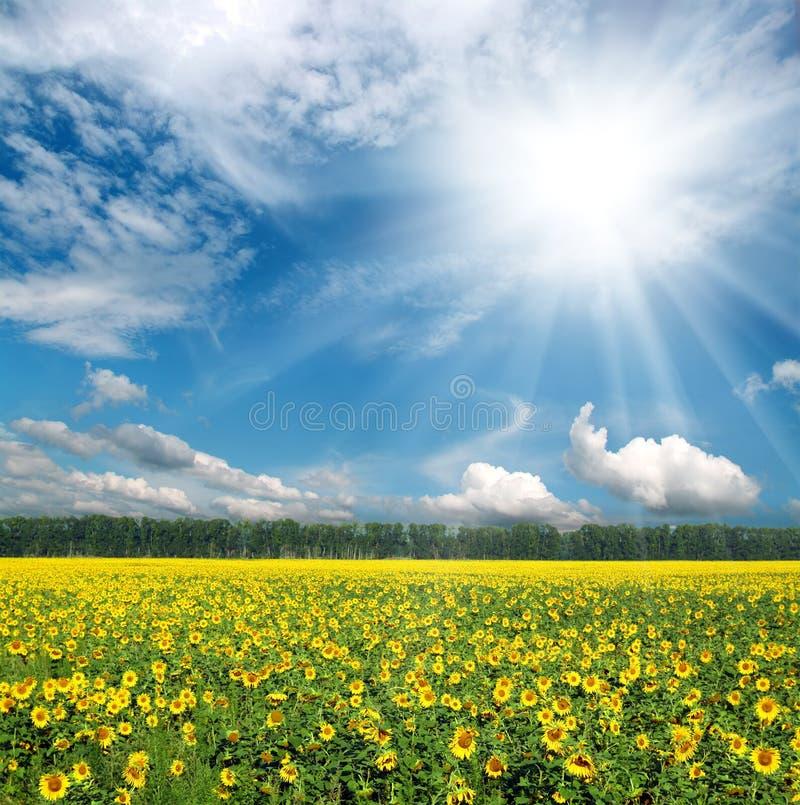 Sonnenblumen stellen unter Himmel auf stockfotos