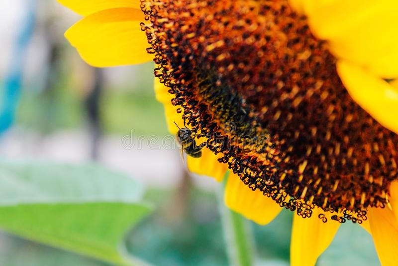 Sonnenblumen und fliegende Biene stockfotografie