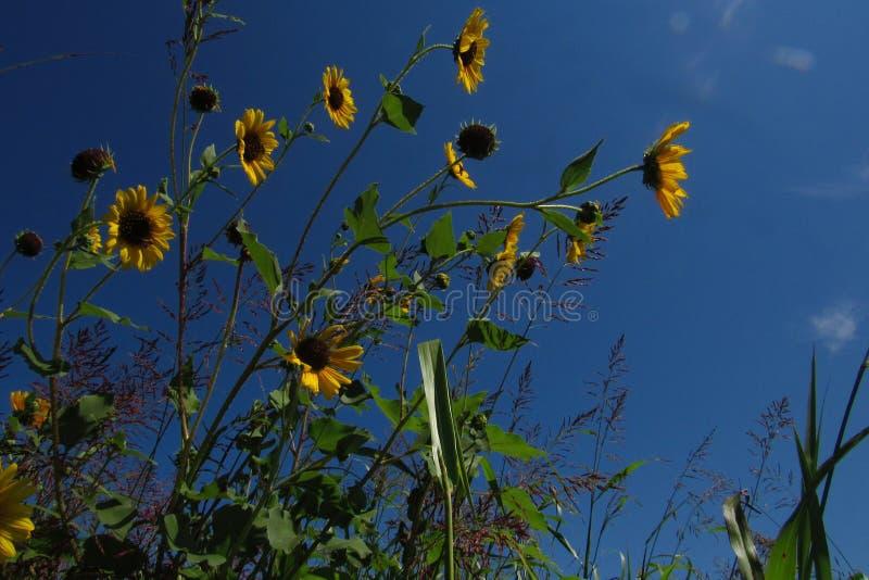 Sonnenblumen und Himmel lizenzfreies stockfoto