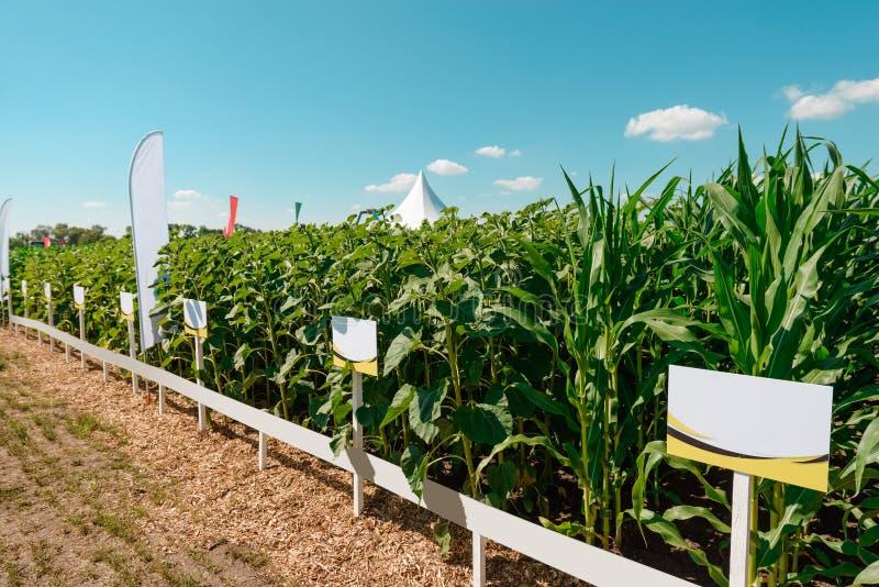 Sonnenblumen- und Maisplantage stockbild