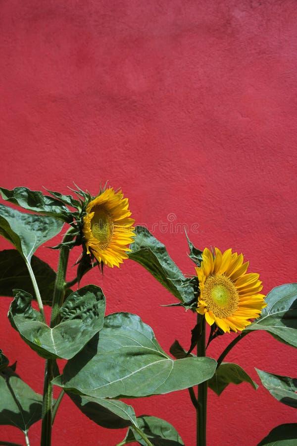 Sonnenblumen und rote Wand lizenzfreie stockfotografie