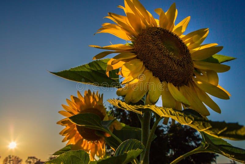 Sonnenblumen und Sonnenuntergang lizenzfreie stockfotos
