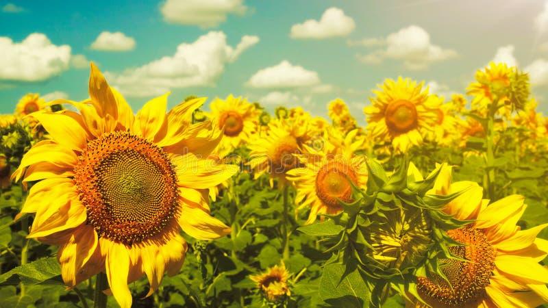 Sonnenblumen unter dem blauen Himmel. lizenzfreies stockfoto