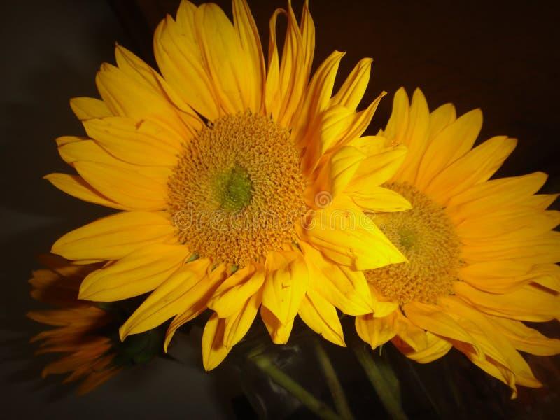 Sonnenblumen UpClose und schwarzer Hintergrund stockfotografie