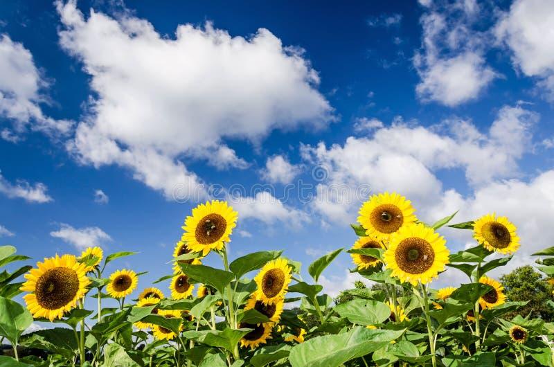 Sonnenblumen vor blauem Himmel mit einigen Wolken lizenzfreies stockbild