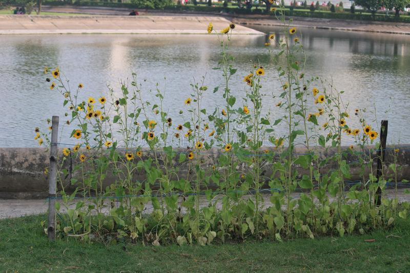 Sonnenblumen vor einem See stockfotografie