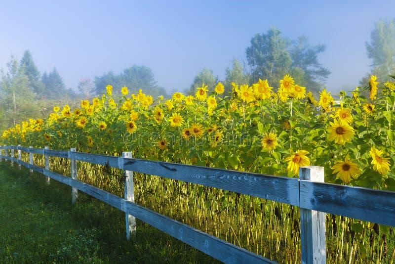 Sonnenblumen während eines Nebels des frühen Morgens. stockfoto