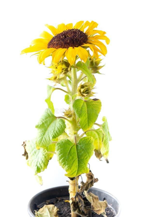 Sonnenblumenabschluß oben lizenzfreie stockfotos