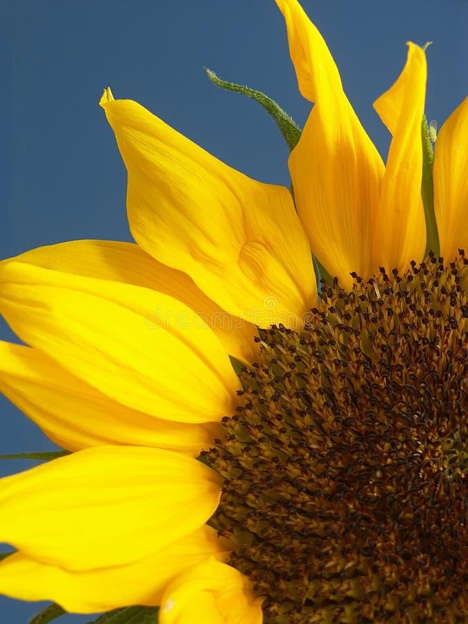 Sonnenblumenahaufnahme stockbild