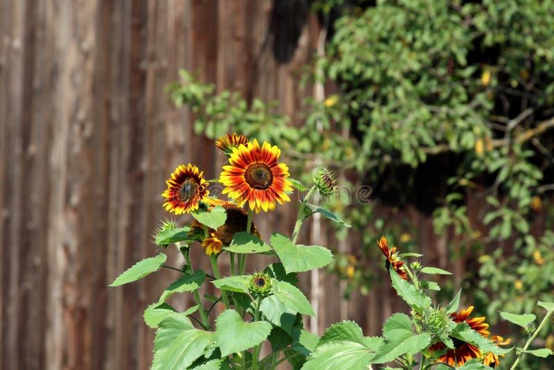 Sonnenblumenanlagen mit hellem Gelb zu den dunkelroten völlig offenen Blumen, die in Richtung zur Sonne im lokalen Garten mit Bau lizenzfreies stockfoto