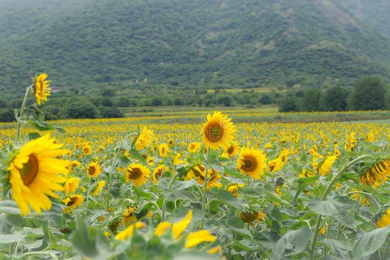 Sonnenblumenbauernhof lizenzfreie stockfotos