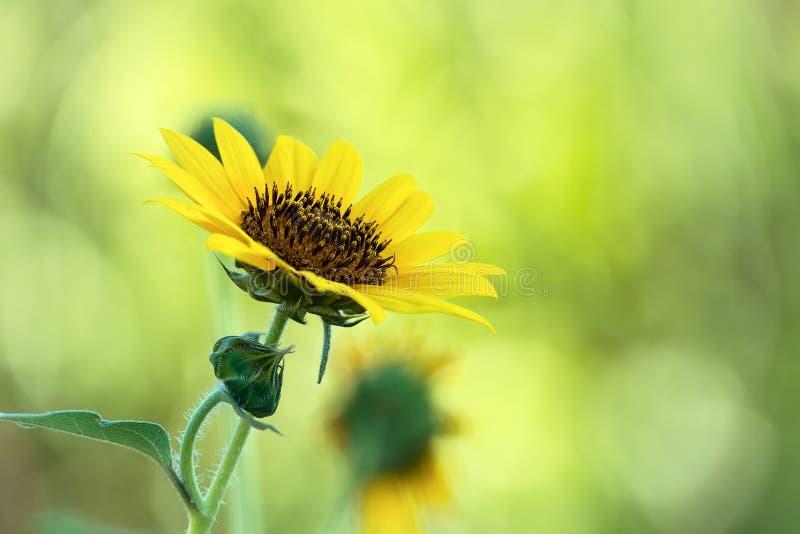 Sonnenblumenblüte gegen natürlichen grünen Hintergrund stockbild