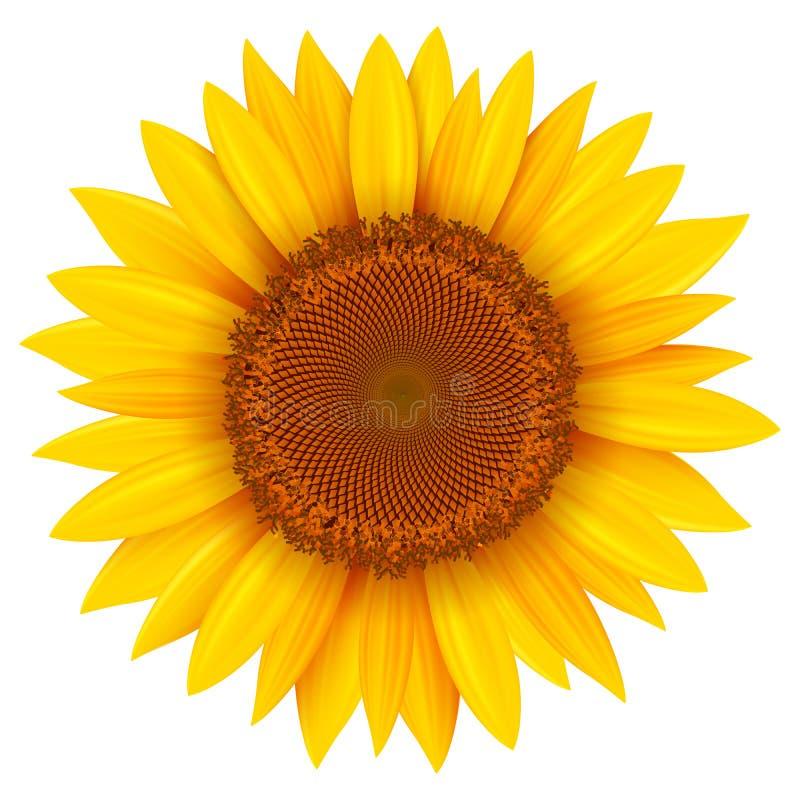 Sonnenblumenblume lokalisiert vektor abbildung