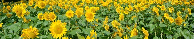 Sonnenblumenblumen lizenzfreie stockbilder