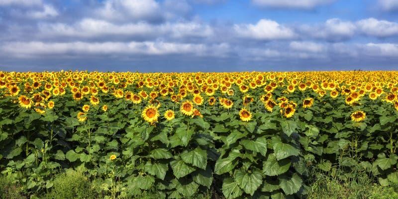 Sonnenblumenfeld stockbild