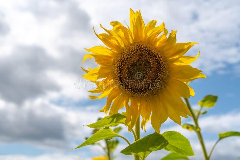 Sonnenblumenfeld auf Himmelhintergrund Es beginnt zu regnen D?sterer Himmel lizenzfreie stockbilder