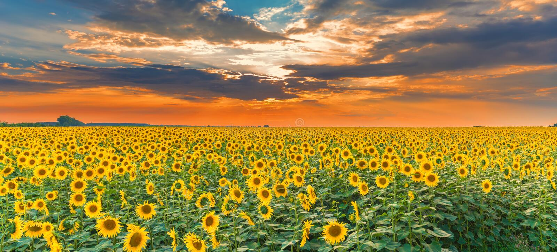 Sonnenblumenfeld auf Sonnenuntergang Schönes Naturlandschaftspanorama Idyllische Szene des Bauernhoffeldes
