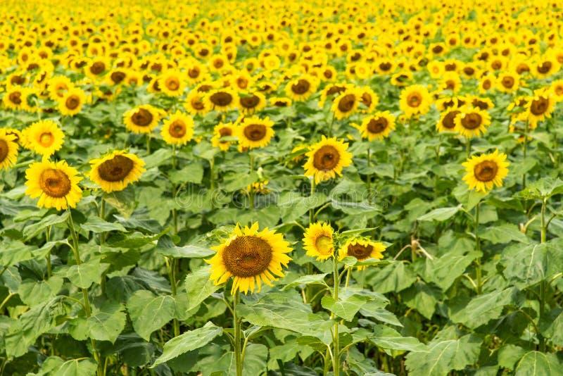 Sonnenblumenfeld an der vollen Blüte stockbilder