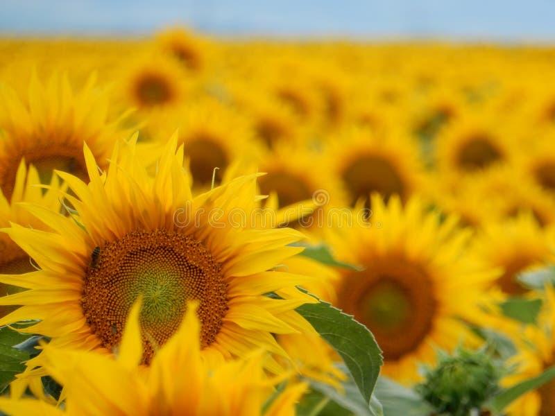 Sonnenblumenfeld Mitte August stockfoto