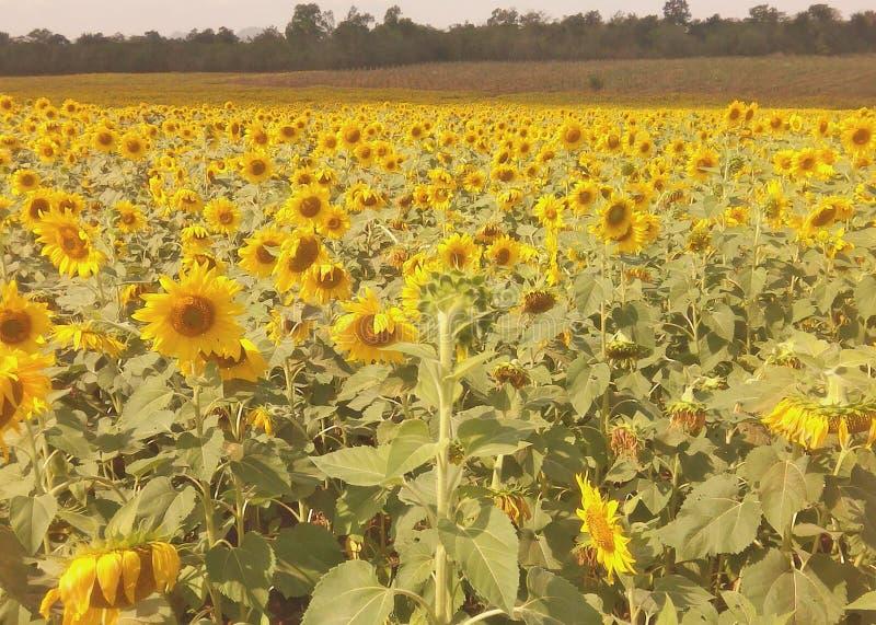 Sonnenblumenfeld, Sonnenblume, Sonnenschein stockbilder