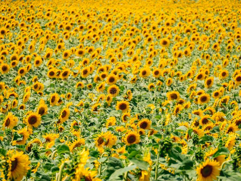 Sonnenblumenfeld tagsüber stockbilder