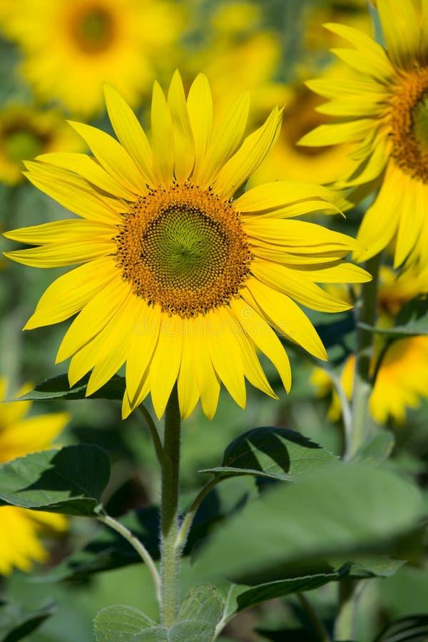 Sonnenblumenfeld in Ukraine, Abschluss oben stockbild